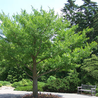 Ginkgo Biloba Tree 8 Seeds, Hardy Medicinal Supplement Herb Bonsai