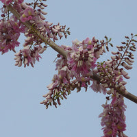 Gliricidia Sepium Flowering Tree 20/50/100/500 Seeds, Nitrogen Fixing
