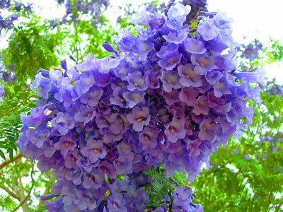 Jacaranda Mimosifolia Fern Tree 20-1500 Seeds, Blue Fragrant Ornamental Bonsai