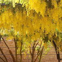 Laburnum Anagyroides Tree 20/100/500 Seeds, Hardy Golden Chain