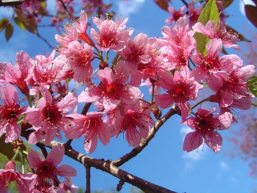 Prunus Cerasoides Puddum 20 50 100 300 Seeds Wild Himalayan Cherry Fr The Plant Attraction