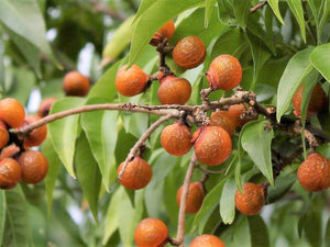 Sapindus Mukorossi 5 Seeds, Big Soap Nut Tree Soapberry Washnut