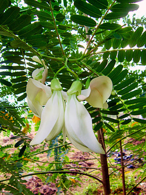 Sesbania Grandiflora Original White 10 Seeds, Edible Hummingbird Tree Agati