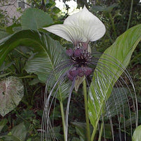 Tacca Nivea White 10 Seeds, Devil's Whiskers, White Bat Flower