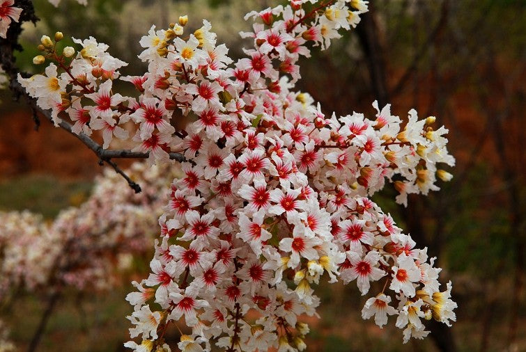 Xanthoceras Sorbifolium 5 Seeds, Hardy Yellowhorn Stunning Shrub or Small Tree