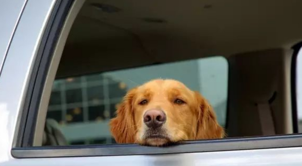 Dogs Vomit When They Are in The Car? Doing This to Solve The Problem