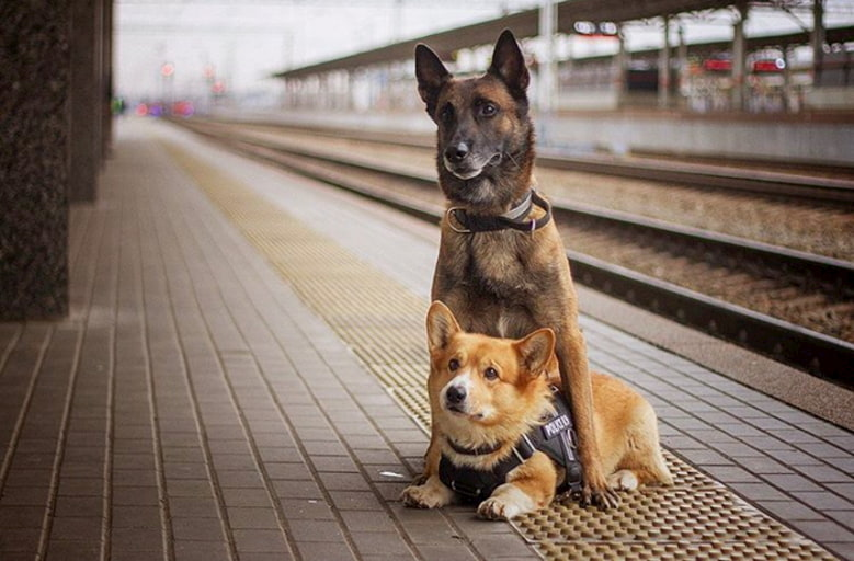 Russia's first Corgi police dog retired and has been working for 7 years