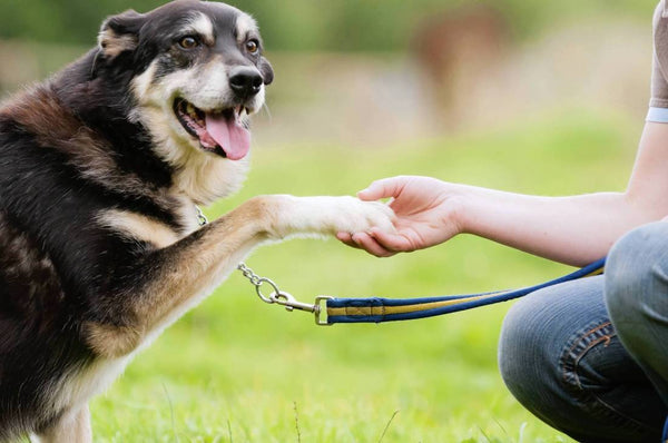 Teach Your Dog to Shake Paws More Quickly