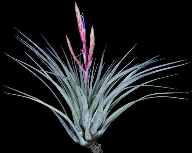Tillandsia 'Anonymous'