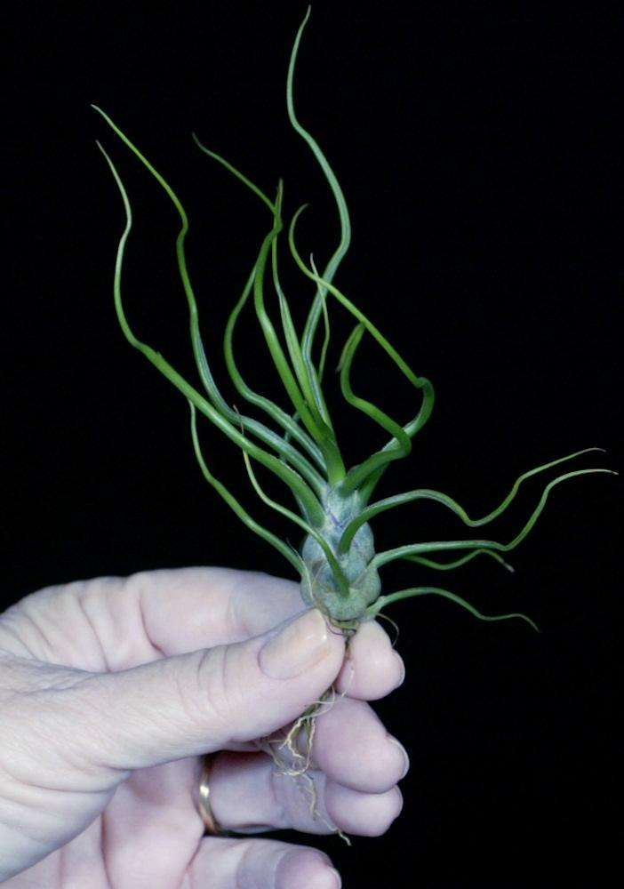 Tillandsia bulbosa red form - Tropiflora