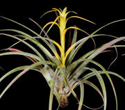 Tillandsia capitata 'Yellow' - Tropiflora