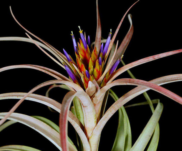 Tillandsia 'Perfectly Peachy' - Tropiflora