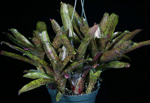 Neoregelia 'Mo Peppa Please' - Tropiflora