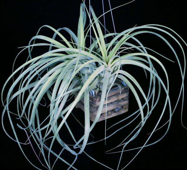 Tillandsia 'Red Fountain' - Tropiflora