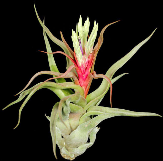 Tillandsia 'Showtime' - Tropiflora