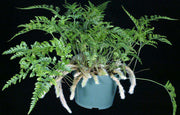 Humata tyermanii 'White Rabbit's Foot Fern' - Tropiflora