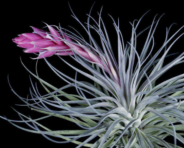 Tillandsia 'Cotton Candy' - Tropiflora