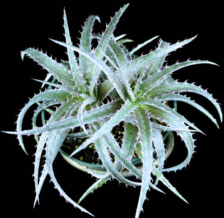 Dyckia 'Silver Super Star'