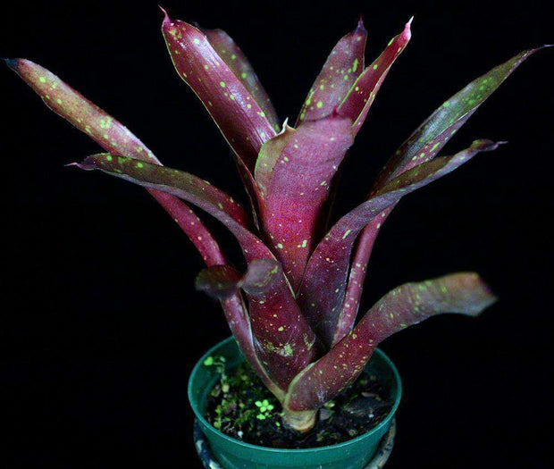 Neoregelia species (burgundy with spots) - Tropiflora