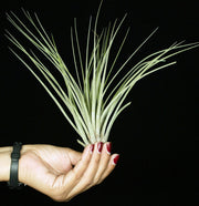 Tillandsia floribunda Small Form