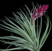 Tillandsia 'Chantilly'
