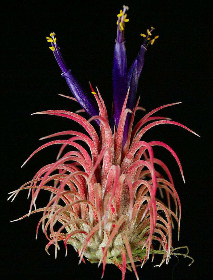 Pack of Tillandsia ionantha 'Rubra' (10-Count)