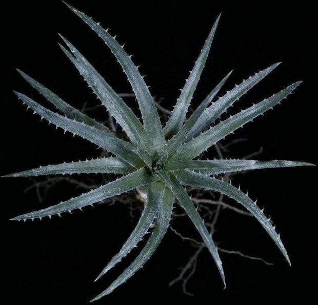 Dyckia 'Betty Garrison' - Tropiflora