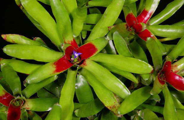 Neoregelia species 'Fireball' Green Form - Tropiflora