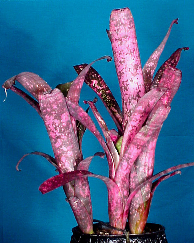 Billbergia 'Afterglow'