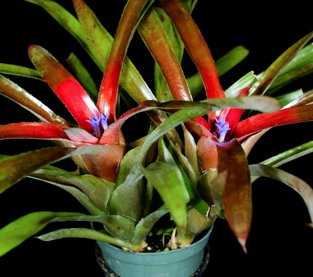 Neoregelia 'Brian's Beauty'