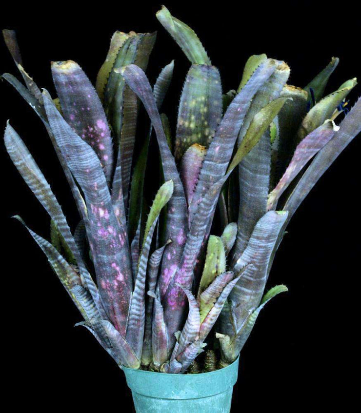 Billbergia 'Violet Night' - Tropiflora