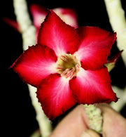 Adenium somalense 'Tree Form'