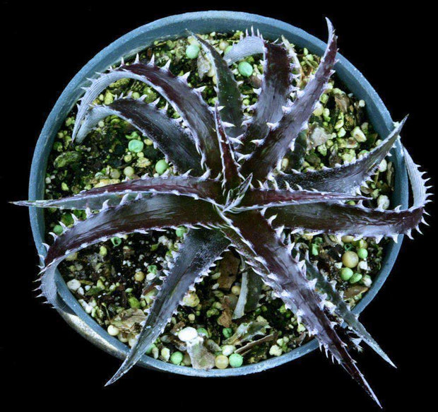Dyckia 'Arizona' x 'Brittle Star' f2 - Tropiflora