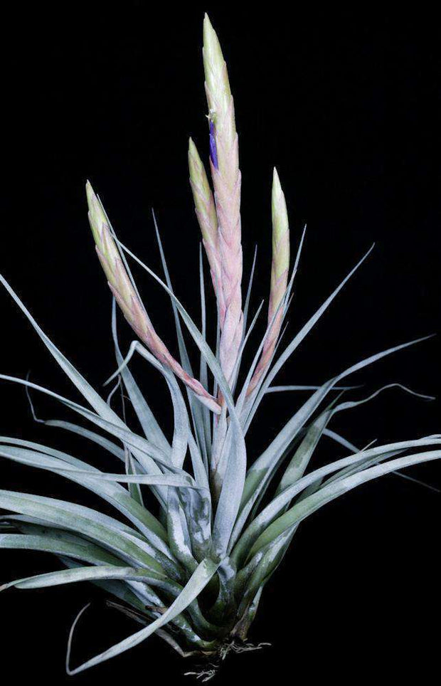 Tillandsia 'Mixtec Treasure' - Tropiflora
