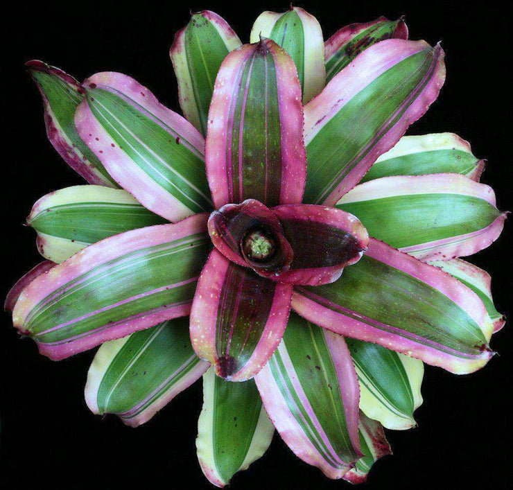 Neoregelia 'Center Stage' - Tropiflora