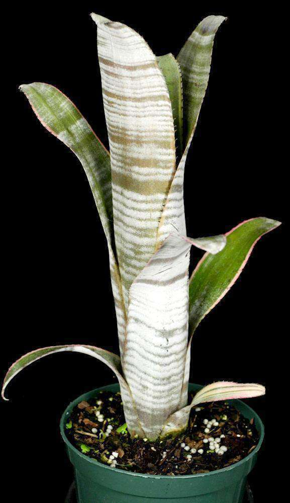 Billbergia 'Ralph Graham French' - Tropiflora