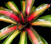Neoregelia 'Pink on Black' - Tropiflora