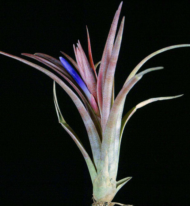 Tillandsia 'Ask Harry' - Tropiflora