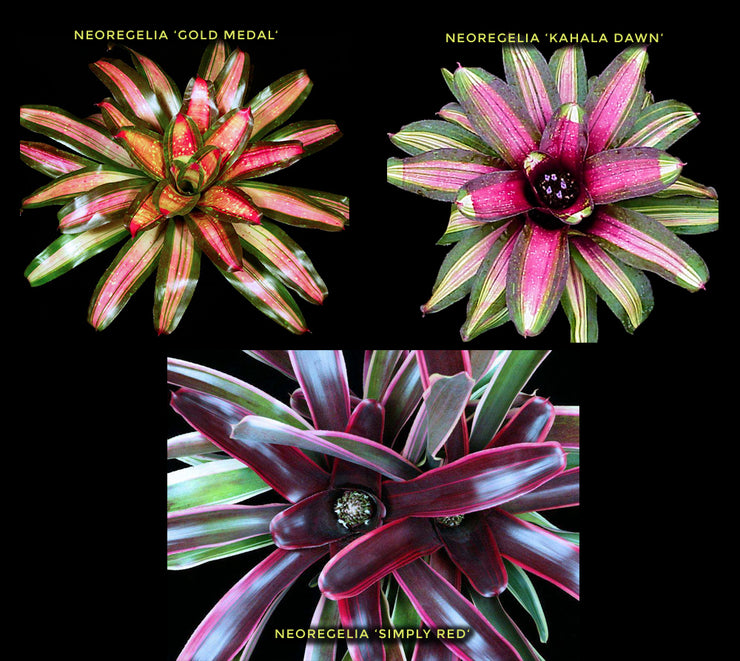 'Sunrise' Neoregelia 3-Piece Collection