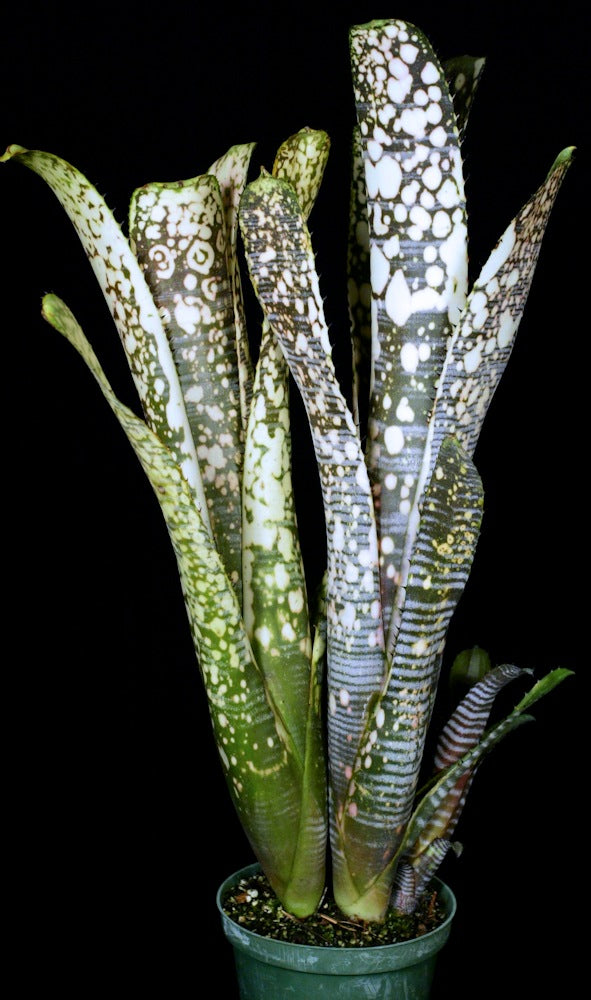 Billbergia 'Calcite'