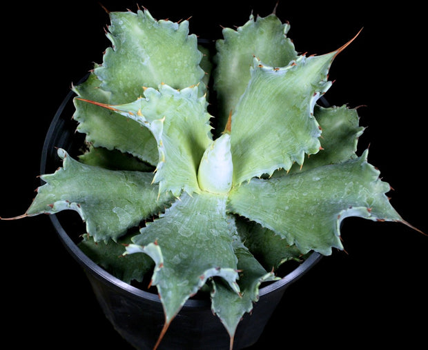 Agave potatorum (mammillate form)
