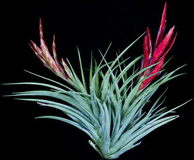 Tillandsia 'Enchanted' - Tropiflora