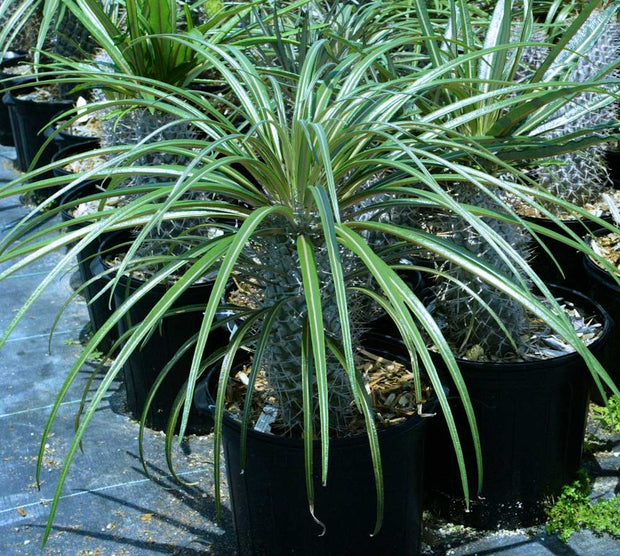 Pachypodium gaeyi (PICKUP ONLY)
