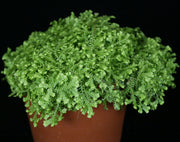 Selaginella krausiana 'Gold Tip'