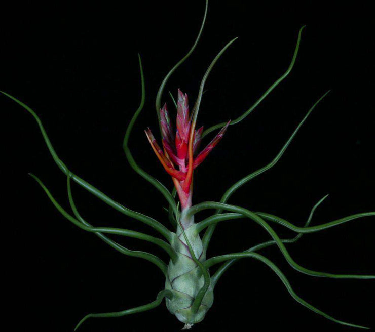 Tillandsia bulbosa Giant Red Form - Tropiflora