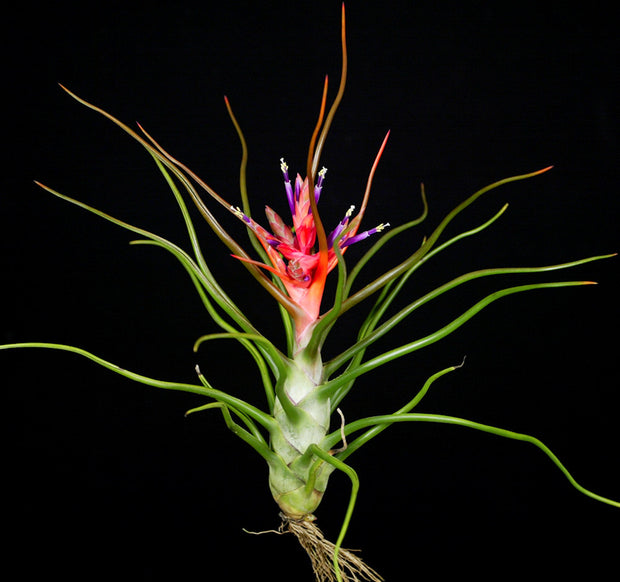 Tillandsia bulbosa Giant Red Form
