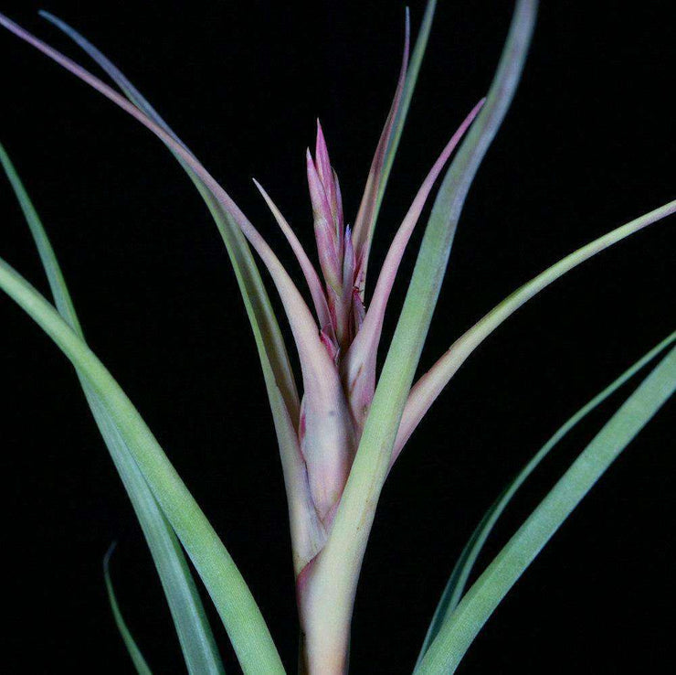 Tillandsia 'Mark Aldridge' - Tropiflora