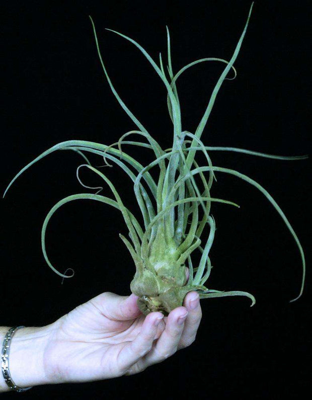 Tillandsia pruinosa 'Giant Form' Colombia