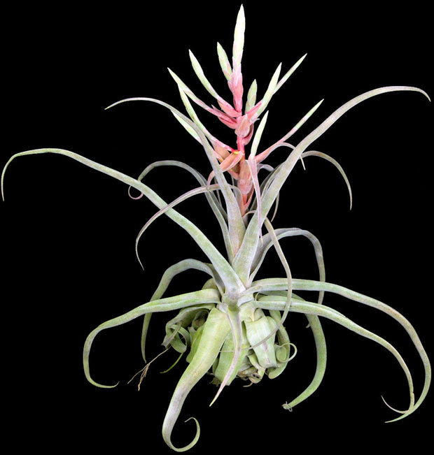 Tillandsia streptophylla 'Red Form' Belize
