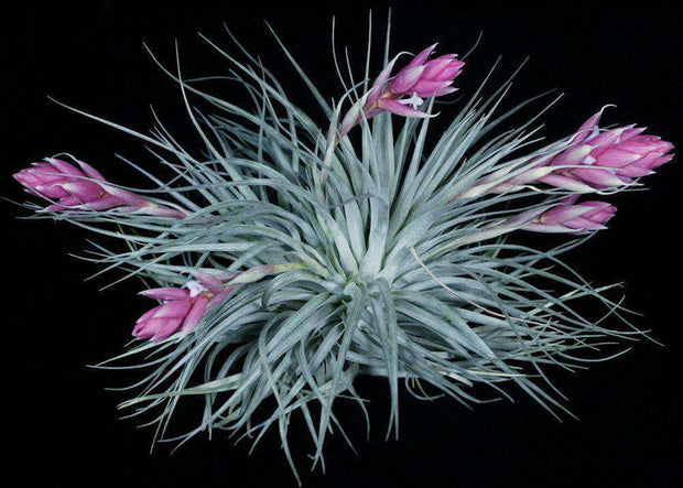 Tillandsia 'Houston Pink' - Tropiflora
